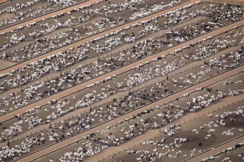 cattle in amazon