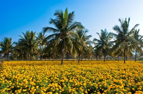 Intercropping_coconut_n_Tagetes_erecta.jpg